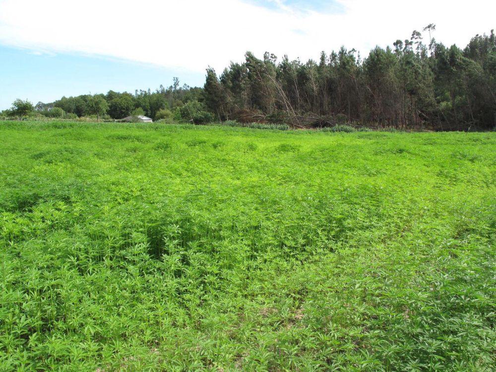 un-campo-de-cultivo-de-canamo-legal-en-portugal-d-dias